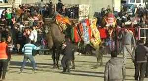 2013 Yılı Buharkent Deve Güreşi 3. Bölüm