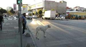 Trafik ışıklarında yeşil yanmasını bekleyen köpek